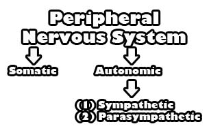 nervous_system_peripheral_divisions